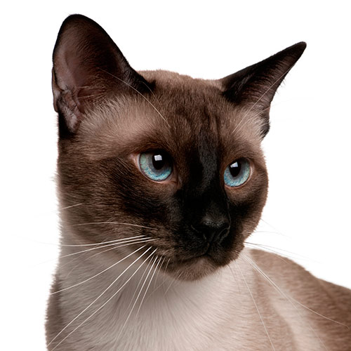 Cats answer: SIAMESE
