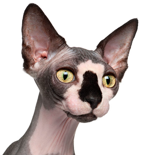 Cats answer: SPHYNX