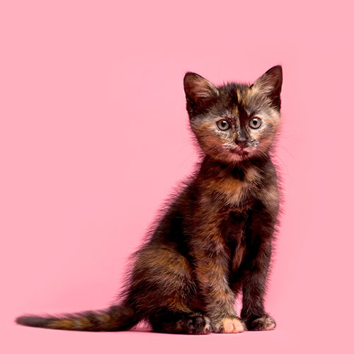 Cats answer: TORTOISESHELL