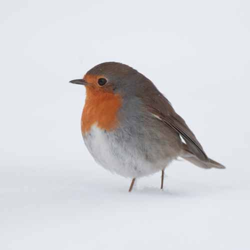 Christmas answer: ROBIN