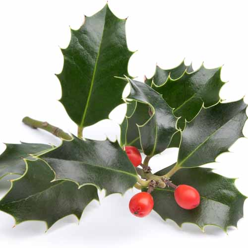 Christmas answer: HOLLY