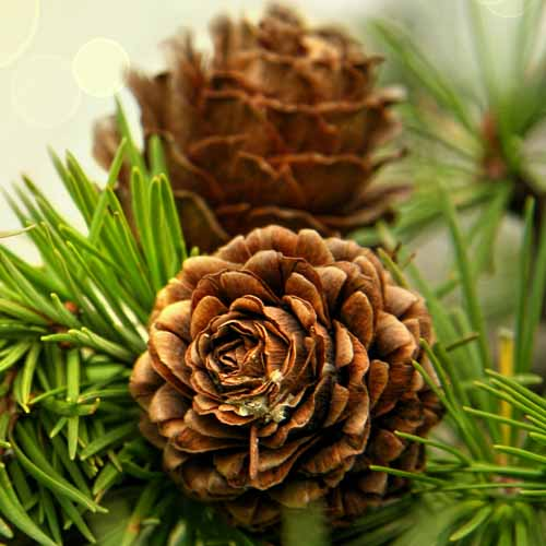 Christmas answer: FIR CONES