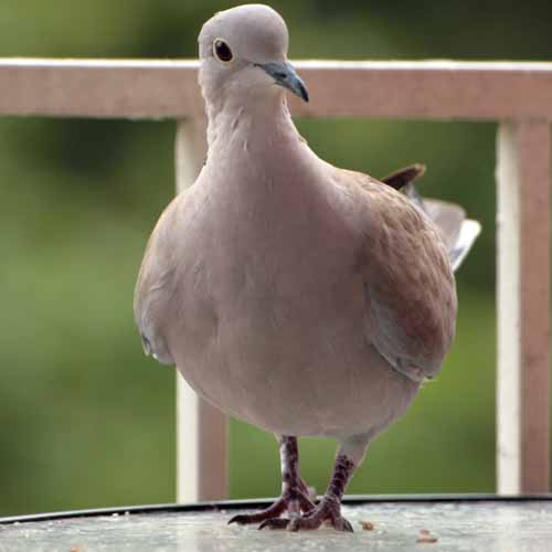 Christmas answer: TURTLE DOVE