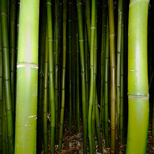 Desert Island answer: BAMBOO