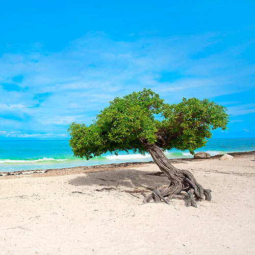 Desert Island answer: DIVI DIVI