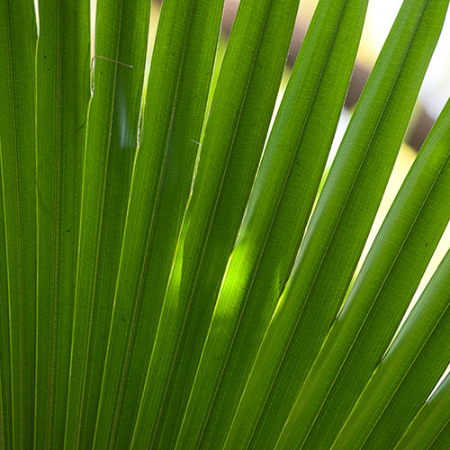 Desert Island answer: FRONDS