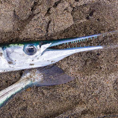 Desert Island answer: NEEDLEFISH
