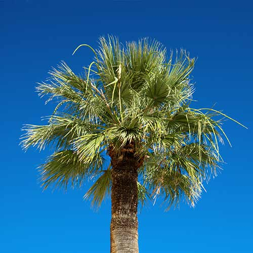 Desert Island answer: PALM TREE