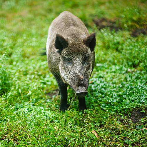 Desert Island answer: WILD BOAR