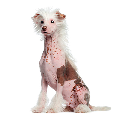 Dog Breeds answer: CHINESE CRESTED