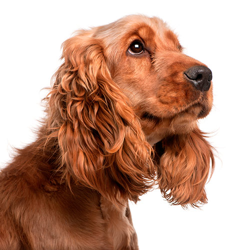 Dog Breeds answer: COCKER SPANIEL