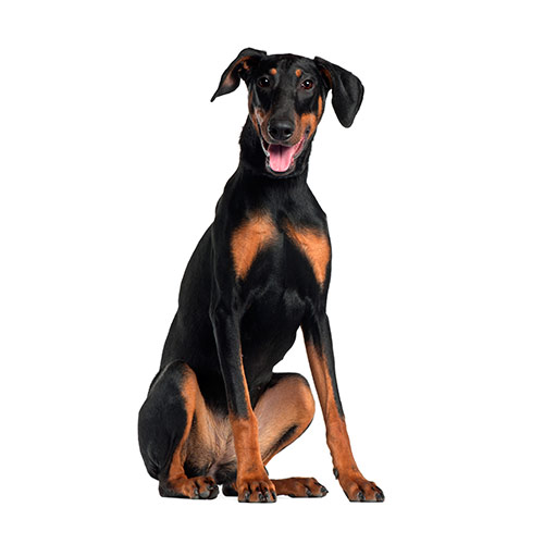 Dog Breeds answer: DOBERMAN