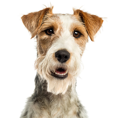 Dog Breeds answer: FOX TERRIER