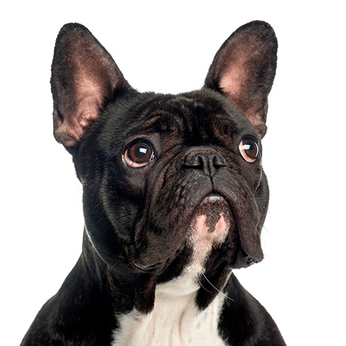 Dog Breeds answer: FRENCH BULLDOG