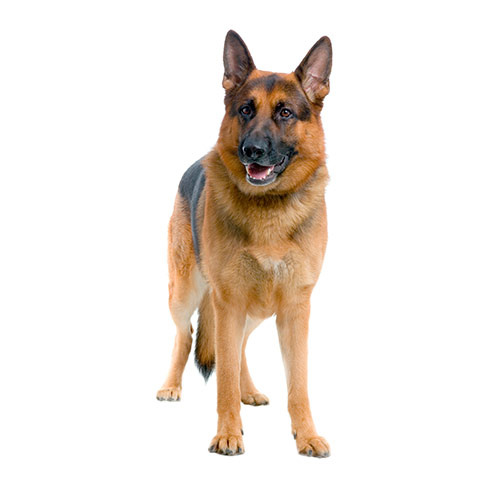 Dog Breeds answer: GERMAN SHEPHERD