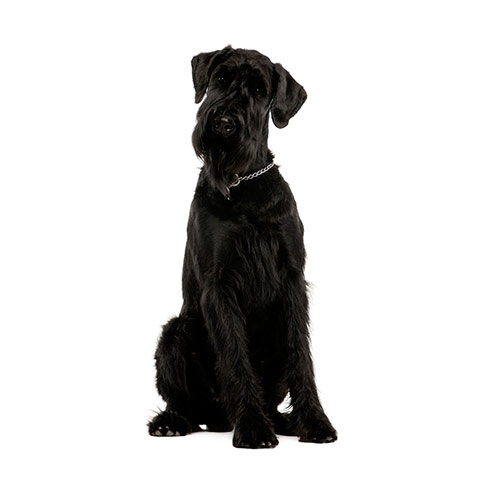 Dog Breeds answer: GIANT SCHNAUZER