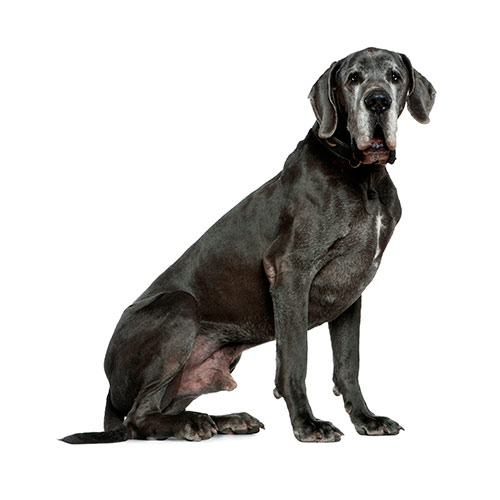 Dog Breeds answer: GREAT DANE