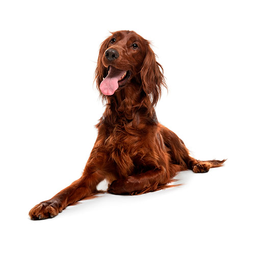Dog Breeds answer: IRISH SETTER