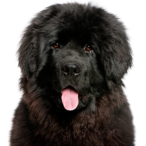 Dog Breeds answer: NEWFOUNDLAND