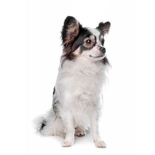Dog Breeds answer: PAPILLON
