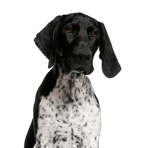 Dog Breeds answer: POINTER