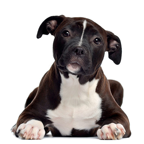 100 Pics Dog Breeds 10 Level Answer Staffordshire