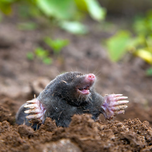 Dwellings answer: MOLEHILL