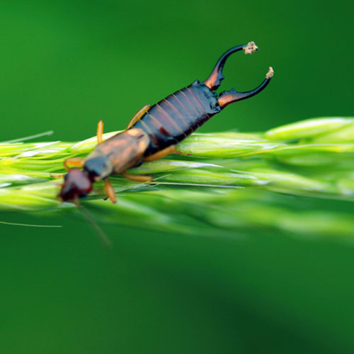 E is for... answer: EARWIG