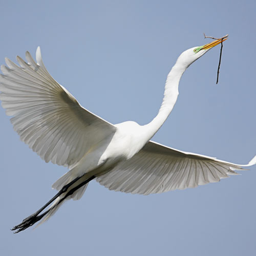 E is for... answer: EGRET