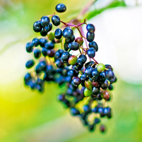 E is for... answer: ELDERBERRIES