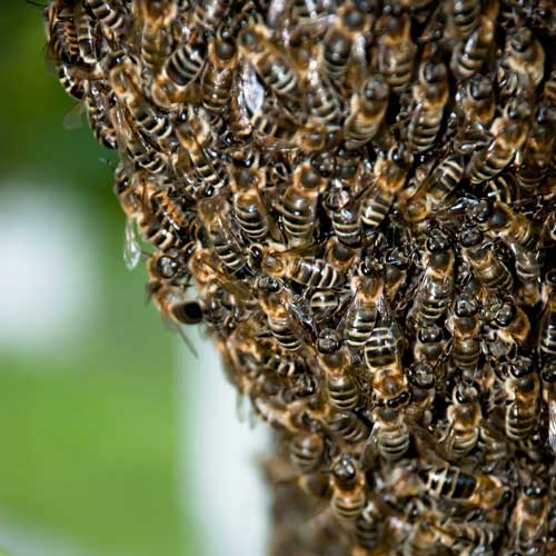 Gardening answer: BEES