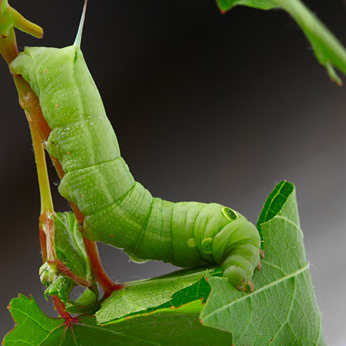 Gardening answer: CATERPILLAR