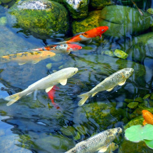 Gardening answer: KOI