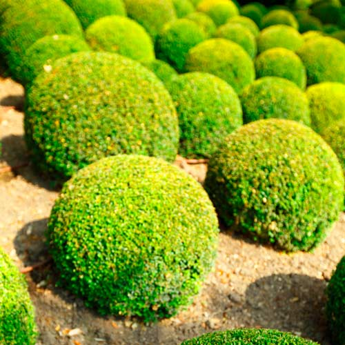 Gardening answer: SHRUBBERY