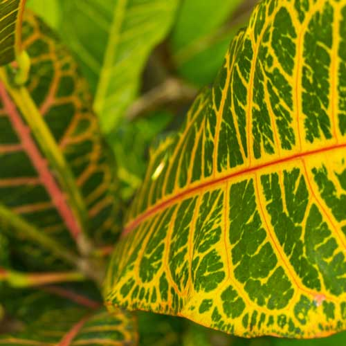 Gardening answer: VARIEGATED