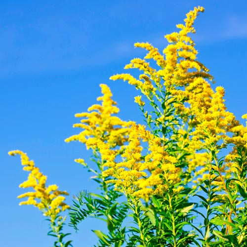 G is for... answer: GOLDENROD