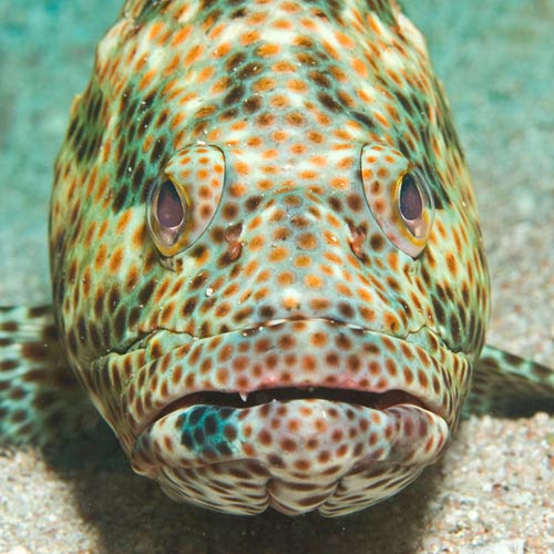 G is for... answer: GROUPER