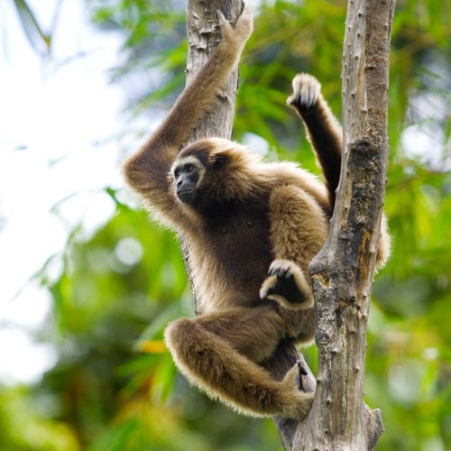 G is for... answer: GIBBON