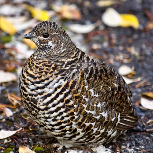 G is for... answer: GROUSE