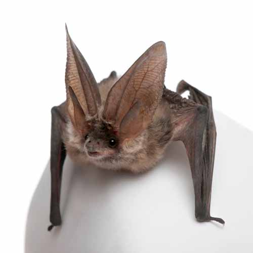 Halloween answer: BAT