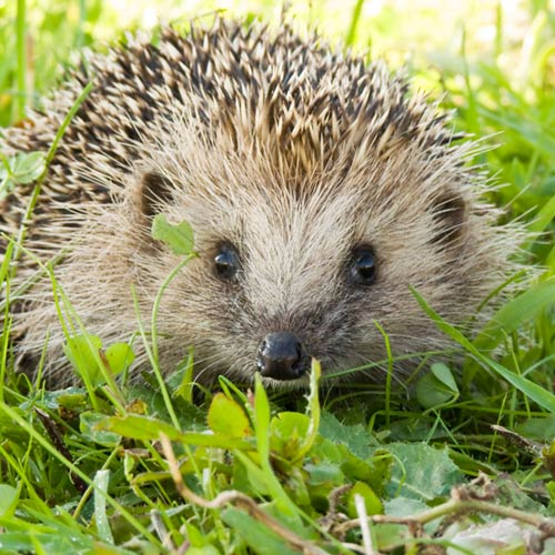 H is for... answer: HEDGEHOG