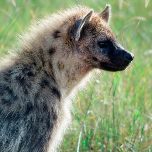 H is for... answer: HYENA