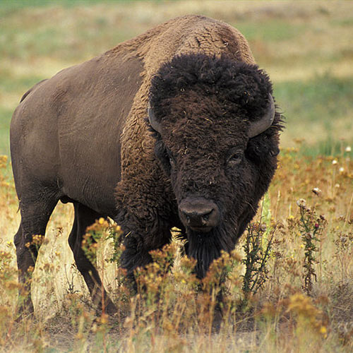 I Love USA answer: BISON