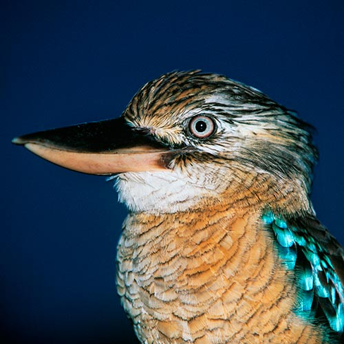K is for... answer: KOOKABURRA
