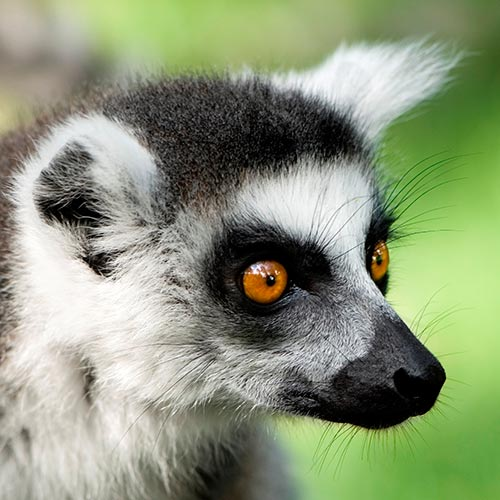 L is for... answer: LEMUR