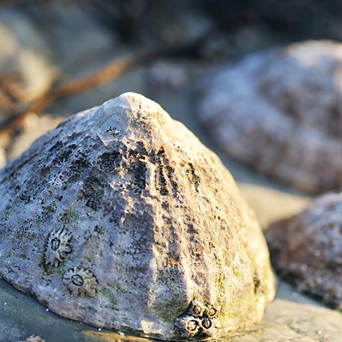 L is for... answer: LIMPET
