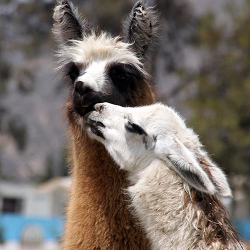 L is for... answer: LLAMA