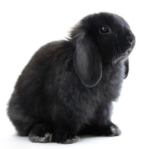 L is for... answer: LOP-EARED