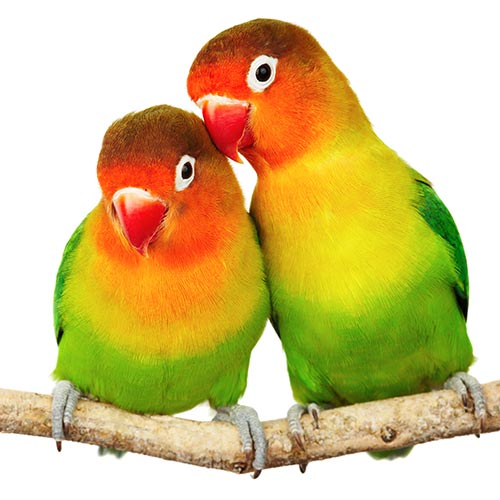 L is for... answer: LOVEBIRDS