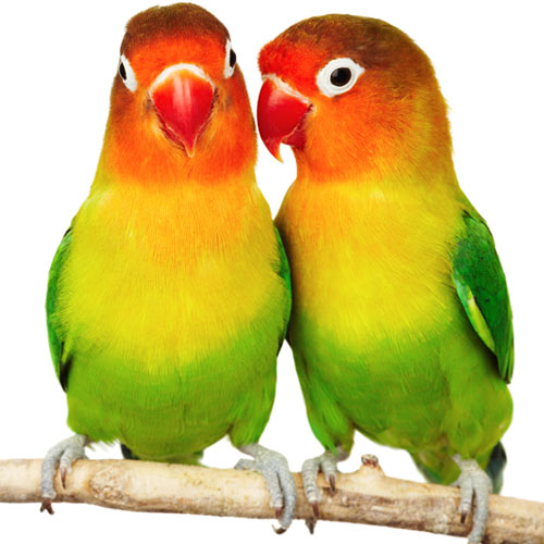 Love answer: LOVEBIRDS